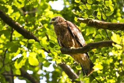Red Kite junior
