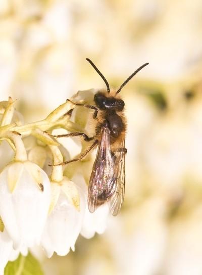 Andrena haemorrhoa on Pieris-flower