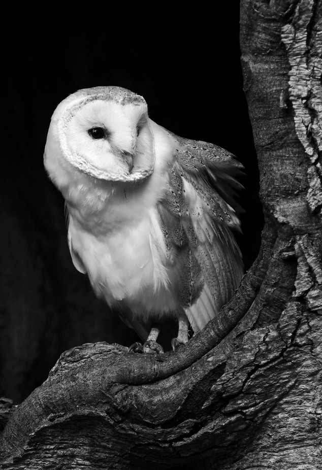 Mono owl by davewx - Only Owls Photo Contest