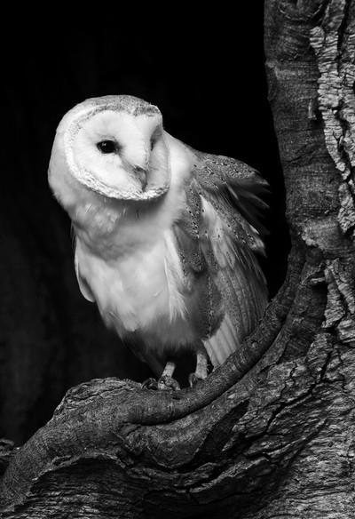 Mono owl