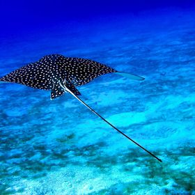 Eagle Ray heading into the deep blue.