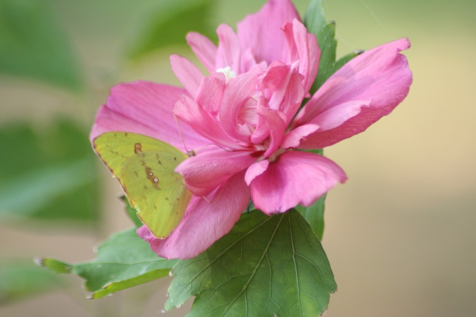 This Rose of Sharon plant attracts beautiful butterflies.