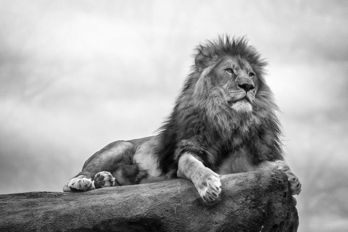 King of the Jungle by kish71 - Everything In Black And White Photo Contest