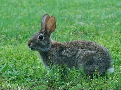 Rabbit 014