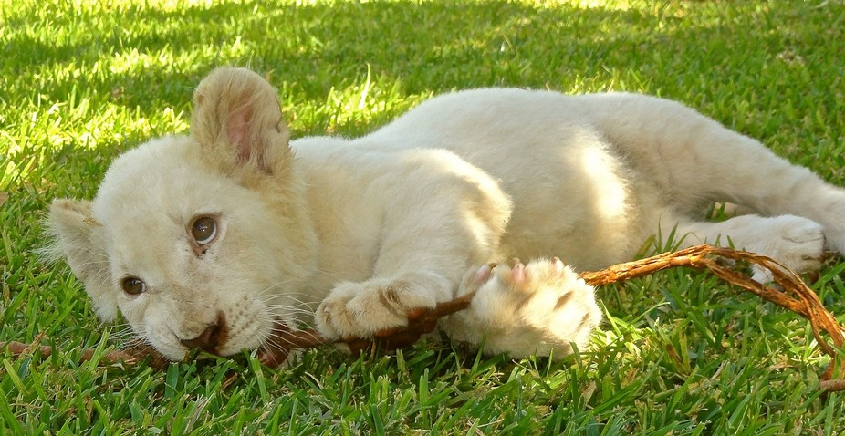 WHITE LION CUB PLAYING