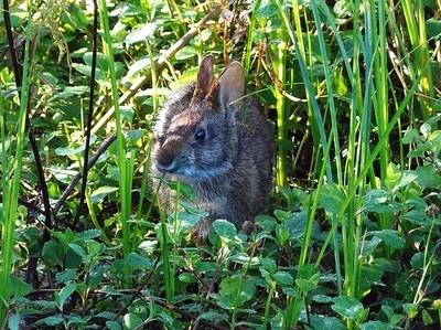 Marsh Rabbit 000