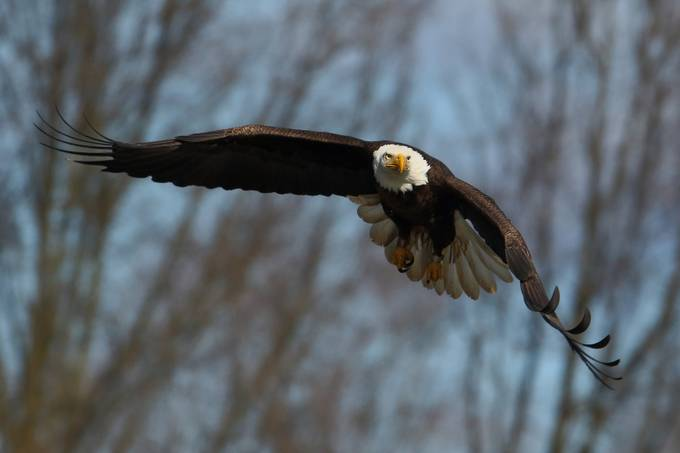Making a Pass by rodschrader - Majestic Eagles Photo Contest