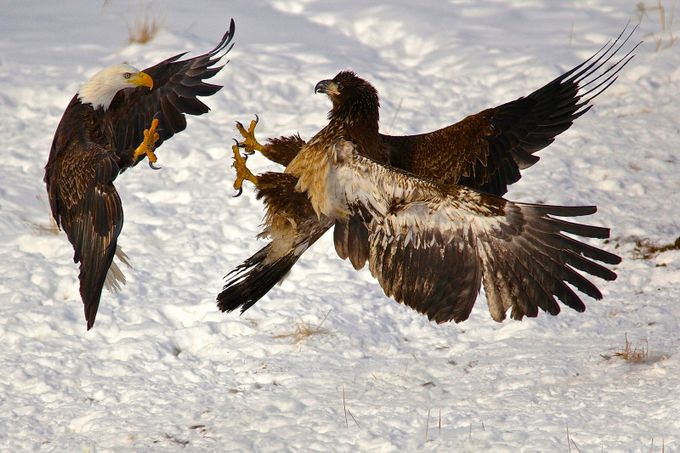 Take Down by ladyvet - Just Eagles Photo Contest