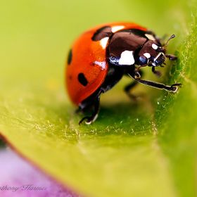 While I was taking this image, the Ladybird was very anxious to be gone. She was on a Clematis Leaf.  At this point she almost looked like she wa...