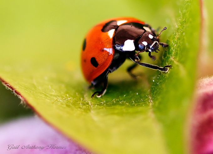 Dancing Ladybird by mihrt - Small Things In Nature Photo Contest