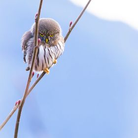 A Northern Pygmy-Owl glares down at me from his/her perch. Kind of a challenging look, I'd say.