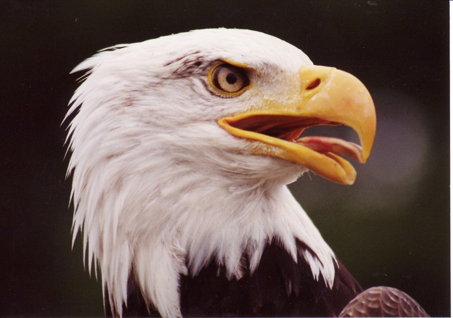 Eagle head shot #1