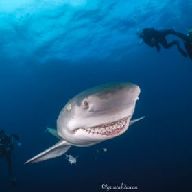 Lemon shark approaches the camera with a nice smile in Jupiter, Florida