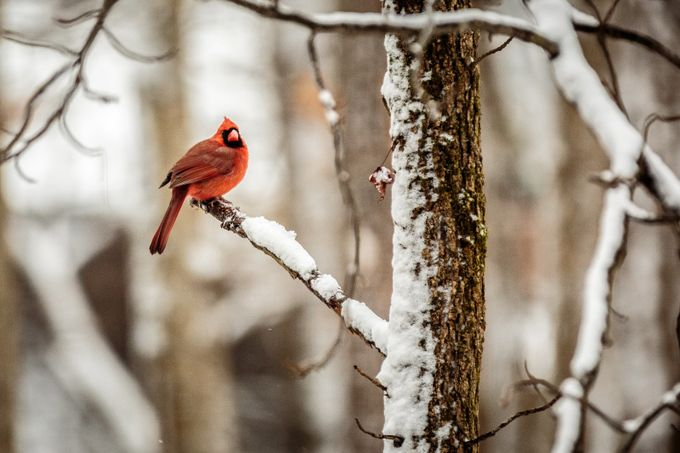 Male Cardinal in Tree by ericcriswell