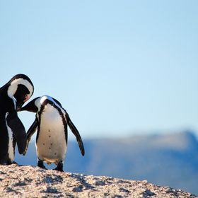 Two African penguins sharing a moment at the  Boulders Beach Penguin Colony, South Africa.