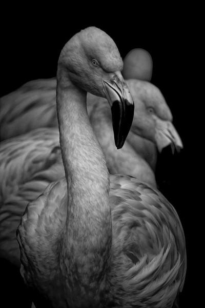 Mono flamingo