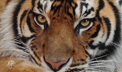 """""""Tiger, tiger burning bright"""""""