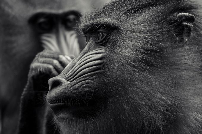 What guy? by AdCarreira - Monkeys And Apes Photo Contest