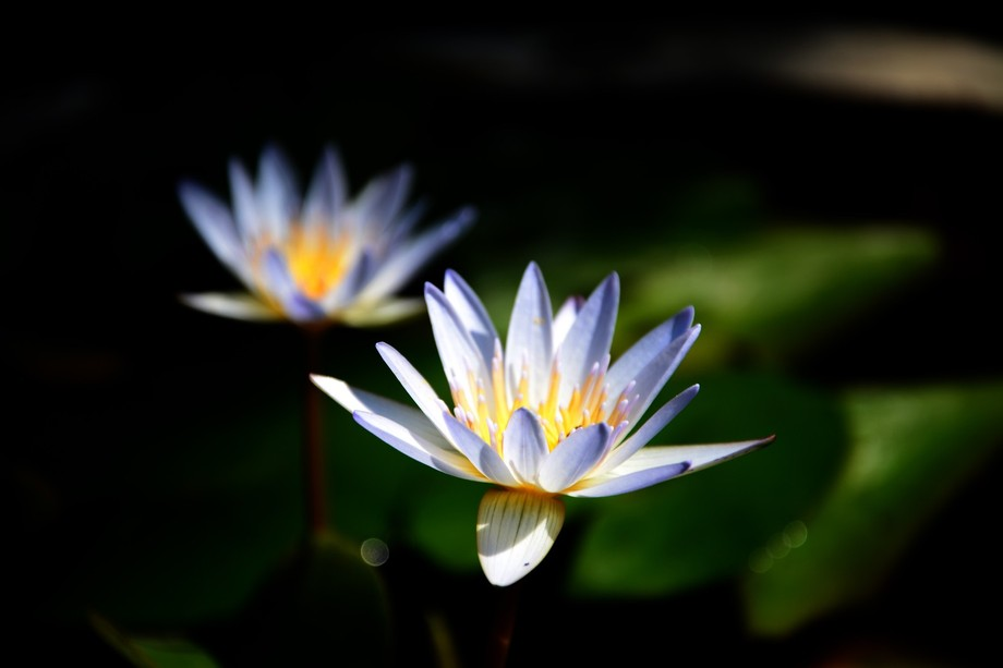 Padma or teratai, local name for lotus flower in Bali, grows in muddy water in front of my family...