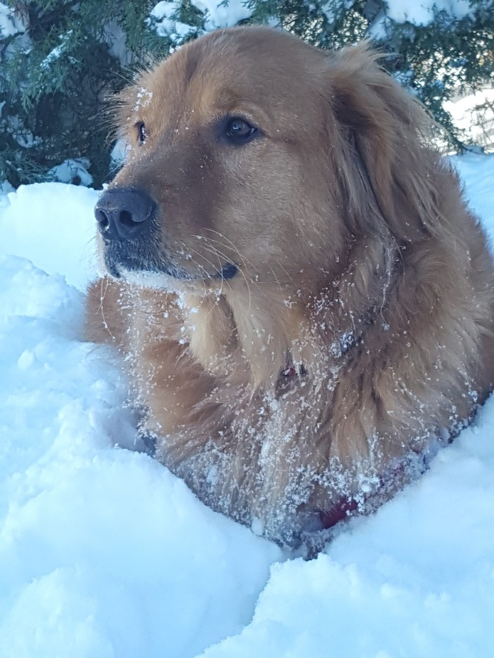 This is Peyton,  my five-year old golden retriever. He had just climbed through 3 feet of snow to...