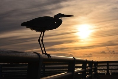 Heron Perched on the Pier