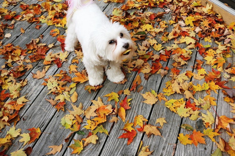 My Maltese Emma loves eating leaves, she was taunting me so I would take them from her.