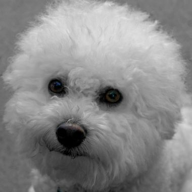 "A partially ""colorized"" image of our two-year old bichon frisé, Oscar. Created by making a B & W copy of a color original, placing the B & W layer over the color layer in PS, and ""erasing"" the eyes, nose, and collar to let the original color show through."