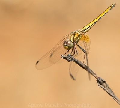 Yellow Dragon Fly