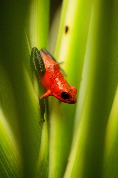 Red and blue poison dart frog