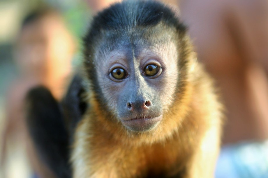 Traveling through the Amazon we came across the baré people who had some capuchins living amongs...