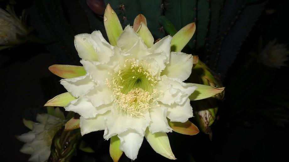 my beautfiul cactus flower