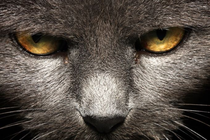 Staring cat by fatfoxphotography - Monthly Pro Vol 24 Photo Contest