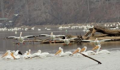 pelicans in flight II