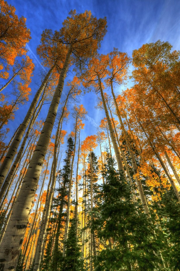 FALL ASPEN BURST by wolfinthewoods - The First Light Photo Contest
