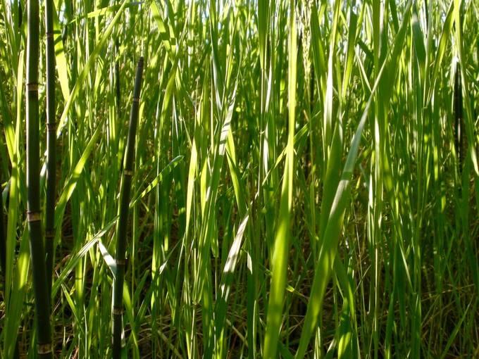 Grasses in the Sun