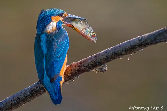 Kingfisher by lszlpotozky - A World Of Blue Photo Contest