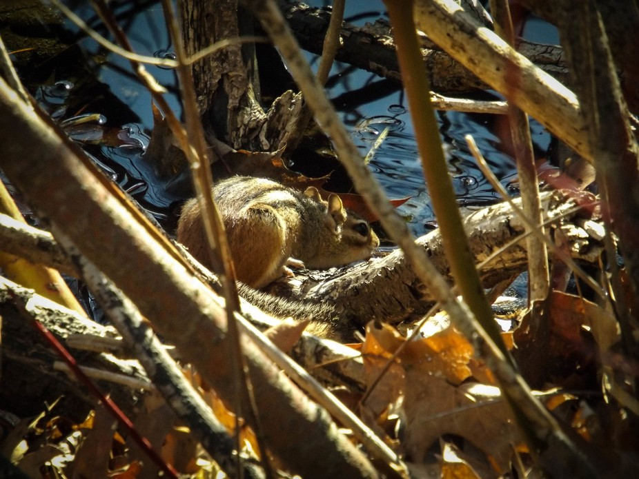 Chipmunk takes a drink of water from a lake while hiding in brush.