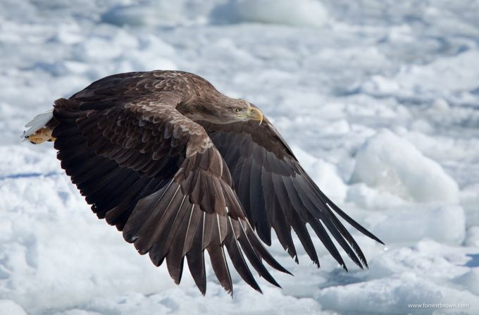 White Tailed Eagle In Hokkaido by Forrest_Brown - Just Eagles Photo Contest