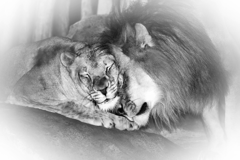 Capturing a moment of love at the zoo. I turned this shot into monochrome for effect and a bit of...