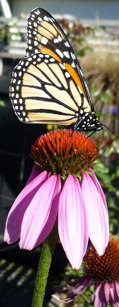 Monarch Nectar Treat