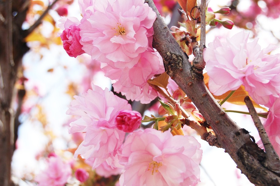 flower blossoms in spring
