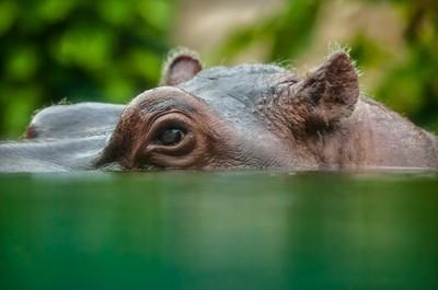 Hippo's eye