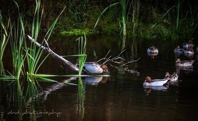 ducks on the yarra
