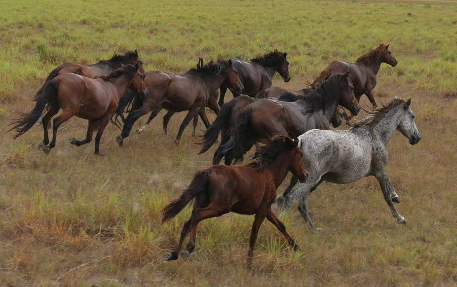 The animal symbol of freedom, which inhabits the plains of Roraima, the wild horses that arrived ...