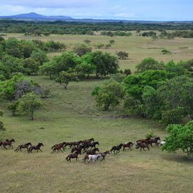 The animal symbol of freedom, which inhabits the plains of Roraima, the wild horses that arrived in Brazil around 1718, with the Portuguese colon...