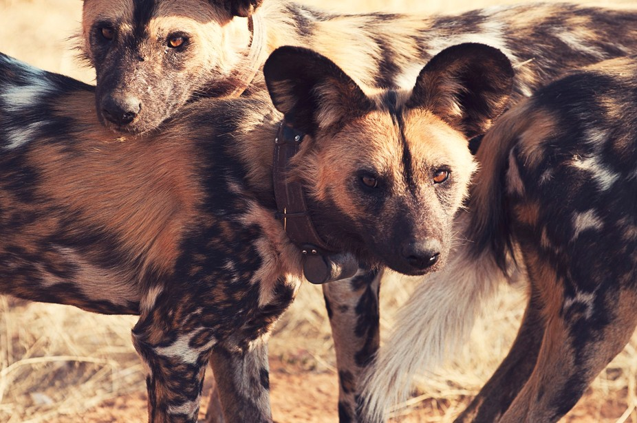 African Painted Dog (wild dog)