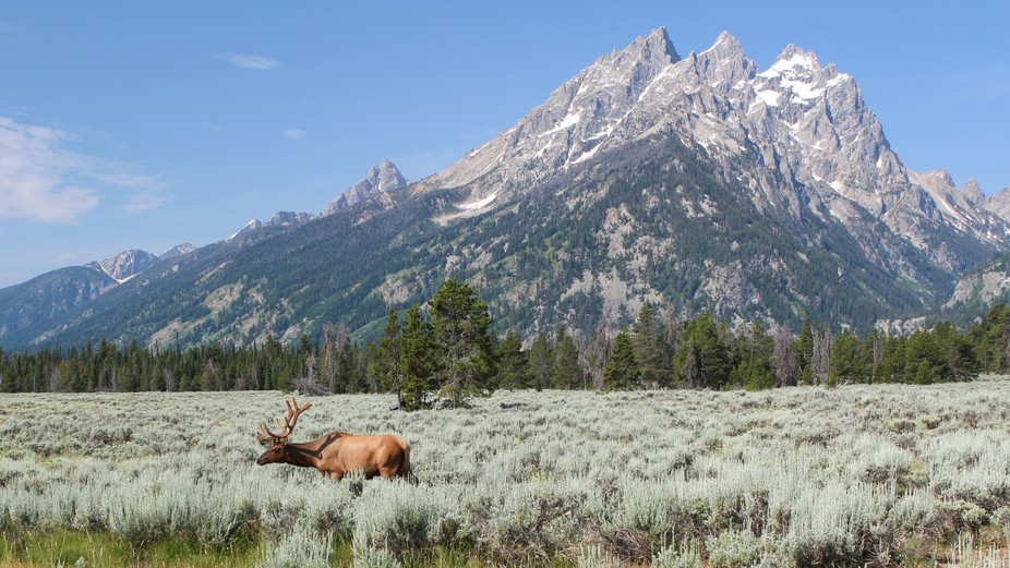 Grazing Elk at Grand Teton