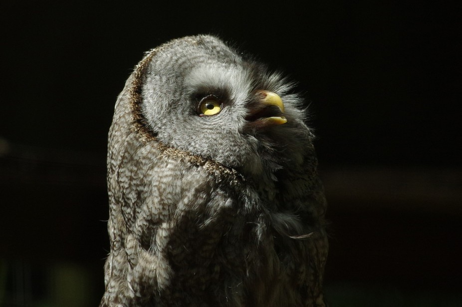 Captive great grey owl taken at Marwell Wildlife, Hampshire, UK, with Pentax K-3 and DA300mm f4. ...