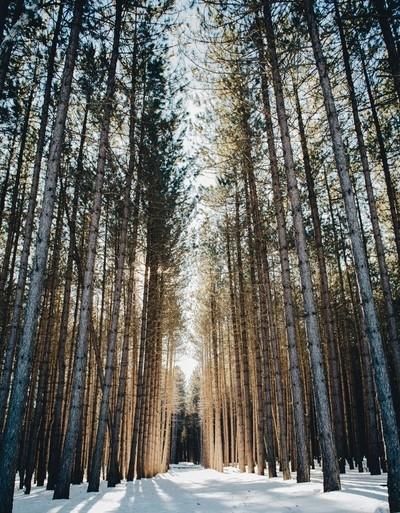 Golden pines