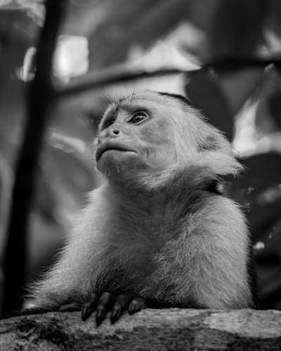 capuchin in Cahuita